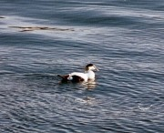 Common Eider, Male (2002)