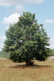 Norway Maple at the Arboretum (2002)
