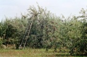 Apple orchard with harvesting ladder (2002)