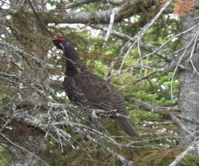 Spruce Grouse in Riley Township (2003)