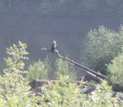 Bald Eagle Surveying the Kennebec River at Farmingdale (2003)