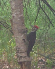 Pileated Woodpecker on a birch tree in Harpswell