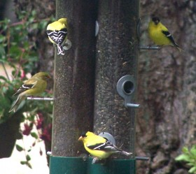 Goldfinches on Bird Feeder in Spring (2007)