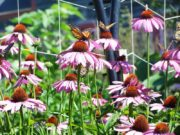 Butterflies and Cone Flowers on Monhegan Island (2007)