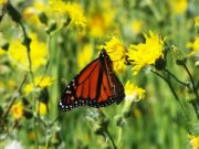 Monarch butterfly on yellow thistle flower on Monhegan Island (2007)