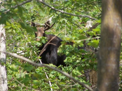A Moose in its Leafy Habitat in the Mahoosuc Range of Western Maine
