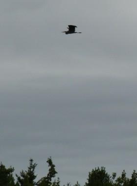 Great Blue Heron in Evening Flight (2007)