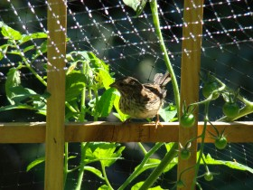 Song Sparrow in a Garden (2007)
