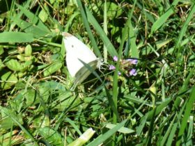 Cabbage White Butterfly (2007)