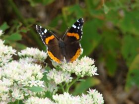 Red Admiral Butterfly in Harpswell (2007)