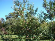 Apple Orchard (2007)