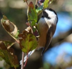 Black-capped Chicadee (2007)