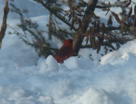 Male Cardinal in the Snow (2008)