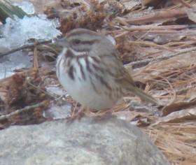 Song Sparrow (2007)