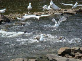 Seagulls feasting on Alewives (2008)