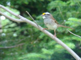 White-throated Sparrow in Seboomook Township (2008)