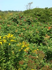 Rose hips, goldenrod and other flora near a beach on Calderwood Island near the eastern end of the Fox Islands Thoroughfare