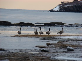 Canada Geese at the Shore (2009)
