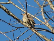 Common Flicker at Marsh River Bog Preserve, Newcastle (April 2009)