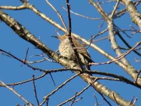 Northern Flicker at the Marsh River Bog Preserve in Newcastle (2009)