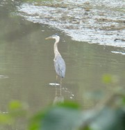 Great Blue Heron Awaiting The Tide (2009)