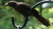 Female Grackle (2009)