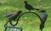 A Grackle Altercation with Silent Arbiter (2009)