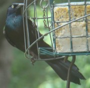 Male Grackle (2009)