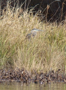Great Blue Heron in Reeds (2009)