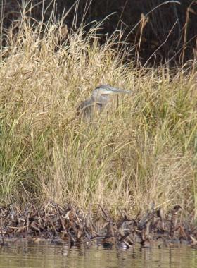 Great Blue Heron in Reeds (2009)