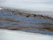Hooded Merganser Ducks in a New Meadows River Pond in Bath (2010)
