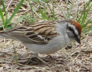 Chipping Sparrow (2010)