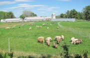 Sheep at Crystal Spring Farm in Brunswick (May 2010)
