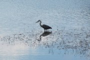 Great Blue Heron Wading (2010)