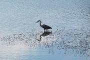 Great Blue Heron Wading (2010)