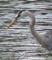 The Long Beak and Neck (2010)