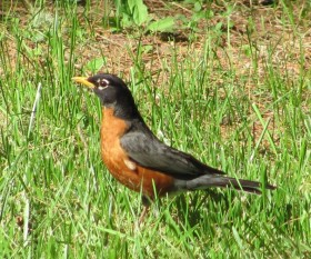 Robin on a Lawn in Spring (2010)