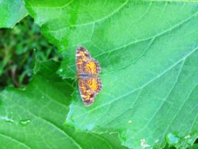 Pearl Crescent Butterfly in Harpswell (2010)
