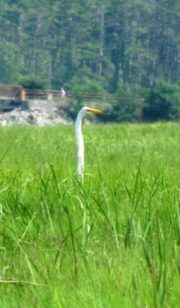 Great Egret (2010)