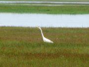Great Egret (2010)