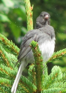 Dark-eyed Junco (2010)