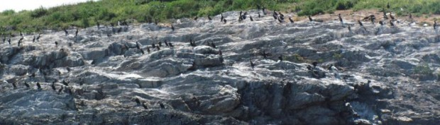 Cormorants Congregate on an Island (2010)