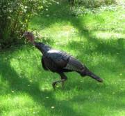 Wild Turkey in Southern Maine (2010)