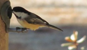 Black-capped Chicadee (2010)