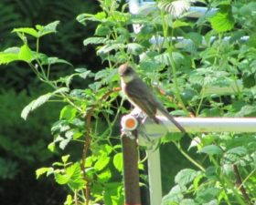 Eastern Phoebe in Harpswell (2011)