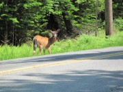 Photo: Deer on Roadside in Lily Bay (2011)