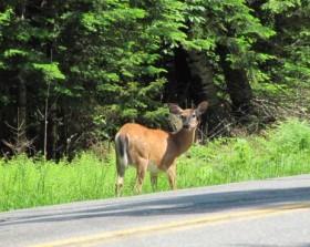 Deer on Lily Bay Road (2011)