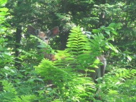 Deer in Spencer Bay Township (2011)