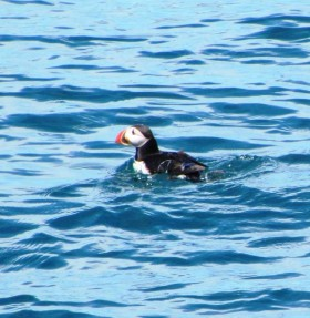 Puffin near Machias Seal Island (2011)