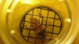 Western Conifer Seed Bug (2012)